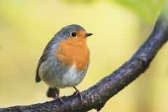 Robin red breast sitting on a tree in autumn Park Royalty Free Stock Photos