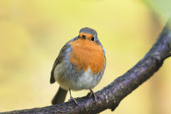 Robin red breast sitting on a tree in autumn Park Stock Photos