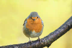 Robin red breast sitting on a tree in autumn Park Royalty Free Stock Photo