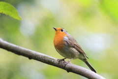 Robin red breast sitting on a tree in autumn Park Stock Photography