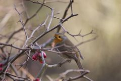 Robin Red Breast Royalty Free Stock Photography