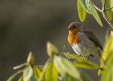 Robin Red Breast Stock Images