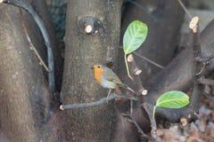 Robin Red Breast trädgårdfågel på nyligen beskurit lagerträd royaltyfri bild
