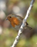 Robin red breast on tree branch Royalty Free Stock Photography