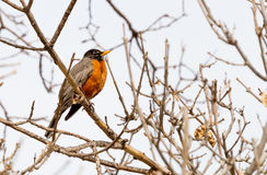 Robin Red Breast Royalty Free Stock Images