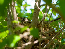 Robin Red Breast in un nido in un albero di corniolo Fotografia Stock Libera da Diritti