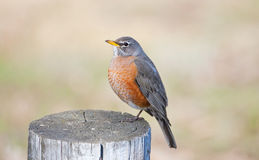 Robin Stock Photos