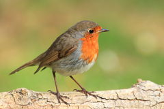 Robin red brest. Stock Photography