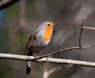 Robin. Red robin or erithacus rubecula Royalty Free Stock Photos