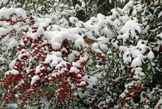 Robin among red winter berries in the snow royalty free stock image