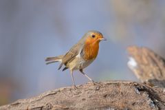 Robin Redbreast stockfotos