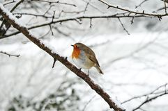 Robin redbreast Royalty Free Stock Photos