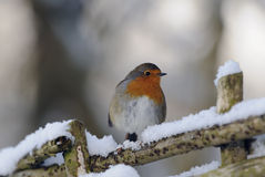 Robin redbreast (). A robin redbreast (erithacus rubecula) sitting on a fence in the snow Royalty Free Stock Photos