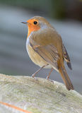 Robin Redbreast. Portrait (Erithacus rubecula Stock Images