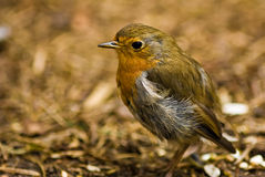 A robin redbreast Stock Image