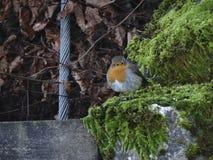 Robin Redbreast 3 Images libres de droits