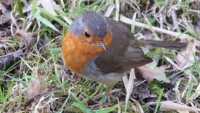Robin Redbreast Photographie stock