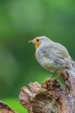 Robin Redbreast Imagens de Stock Royalty Free