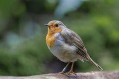 Robin Redbreast Imagem de Stock