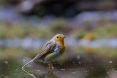 Robin Redbreast Imagem de Stock Royalty Free