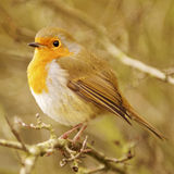 Robin Redbreast. On a branch in profile royalty free stock images