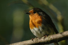 Robin Redbreast. A picture of sn English Robin stock images
