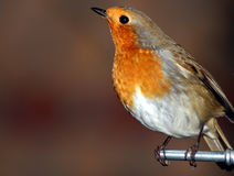 Robin Redbreast. Robin looking up from it's perch Stock Photo