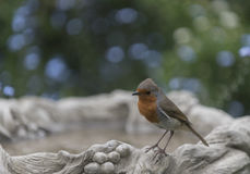 Robin redbreast. In a beautiful garden Royalty Free Stock Photography