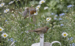 Robin redbreast. In a beautiful garden Stock Photography