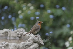 Robin redbreast. In a beautiful garden Stock Photo