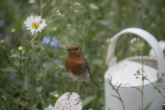Robin redbreast. In a beautiful garden Royalty Free Stock Image