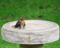 Robin Redbreast in a Bird Bath Stock Image