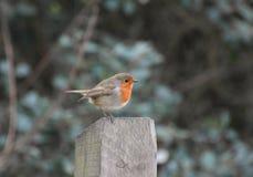 Robin Redbreast Bird royalty free stock photography
