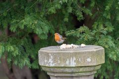 Robin Redbreast bird. Eating bread Stock Photography