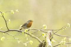 Robin redbreast bird singing Stock Photo