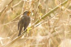Robin redbreast bird singing Stock Photos