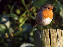 Robin redbreast. A British garden bird in the spring. Robin redbreast in a garden standing on a post in the sunshine Royalty Free Stock Images