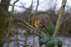 robin redbreast Royalty Free Stock Image
