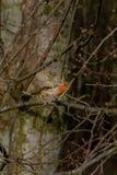 Robin Redbreast die op een takje van Vlucht Spottted toevallig in Schots park bij het Begin van de Lente landen stock foto's
