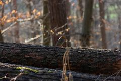 Robin Redbreast en bosque imagen de archivo