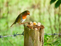 Robin Redbreast Enjoying Tidbits royaltyfria foton