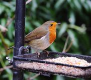 Robin Redbreast (Erithacus Rubecula) Stock Photo