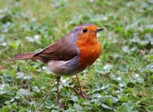 Robin Redbreast (Erithacus Rubecula) Stock Images