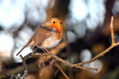 Robin redbreast. Erithacus rubecula on a branch of a winter woodland tree Stock Photography