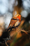 Robin redbreast. Erithacus rubecula on a branch of a winter woodland tree Stock Images