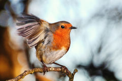 Robin redbreast. Erithacus rubecula on a branch of a winter woodland tree Royalty Free Stock Photography