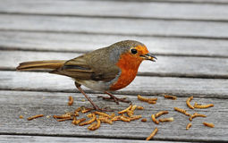 Robin Redbreast (Erithacus Rubecula) Royalty Free Stock Photo