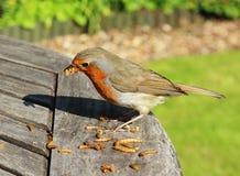 Robin Redbreast (Erithacus Rubecula) Royalty Free Stock Photos
