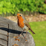 Robin Redbreast (Erithacus Rubecula) Stock Image