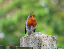 Robin Redbreast (Erithacus Rubecula) Royalty Free Stock Image